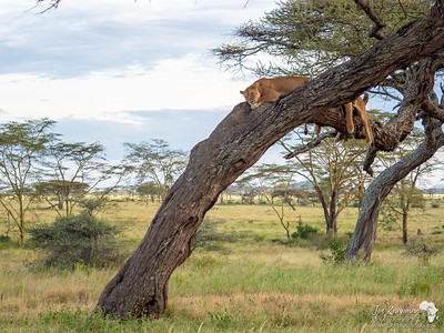 Two lionesses chill in the Serengeti