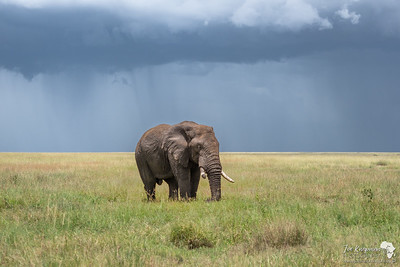 Bull elephant in the Serengeti