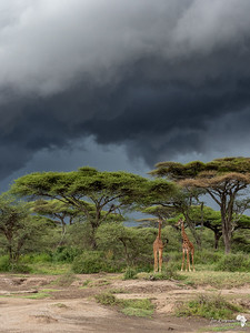 Stormy Skies Tower Above the Ndutu Forest