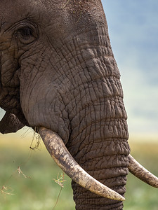 Portrait of a Bull Elephant