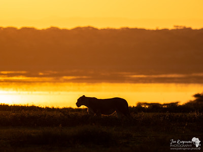 Lioness at first light