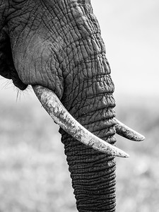 Elephant tusks and trunk