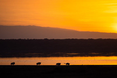 Wildebeest running at sunrise