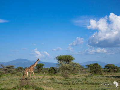 massai Giraffe going about his day