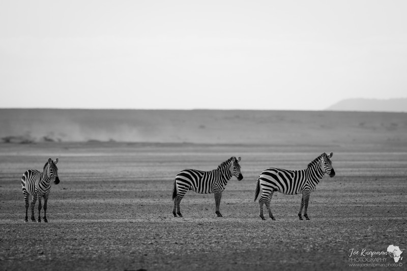 Zebra in the dry Lake bed