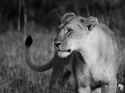 Lioness in the Mara - BW