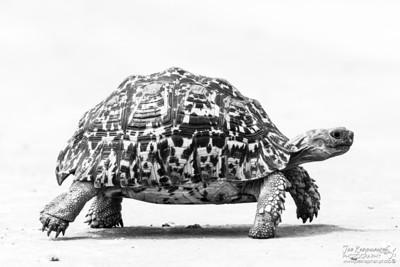 Leopard Tortoise in B&W