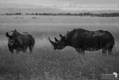 Black Rhino couple