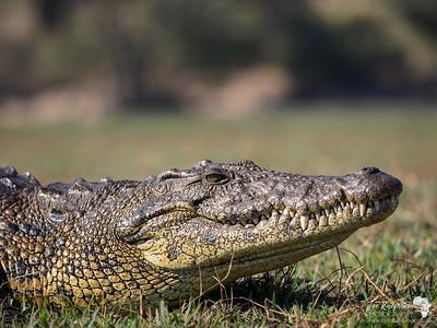 Croc on the Chobe