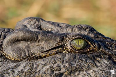 Eye of A Nile Crocodile