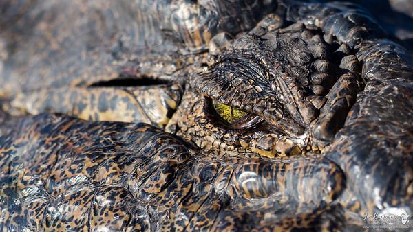 A Nile Crocodile