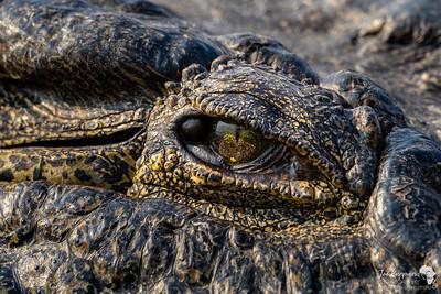 A crocodile close up