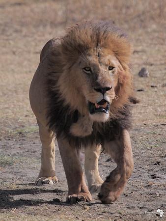 Full Lion