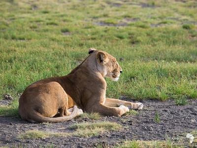Female Lioness