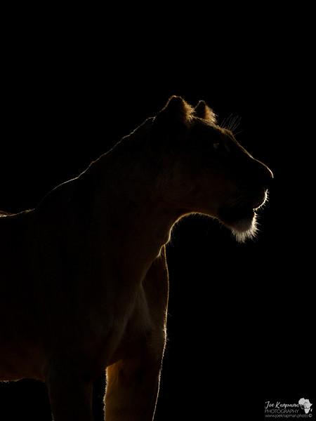 Rim lit lioness