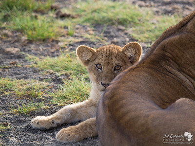 Serengeti Lion Cub