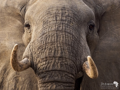 Close up with a bull elephant