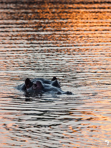 Sundowners with a hippo