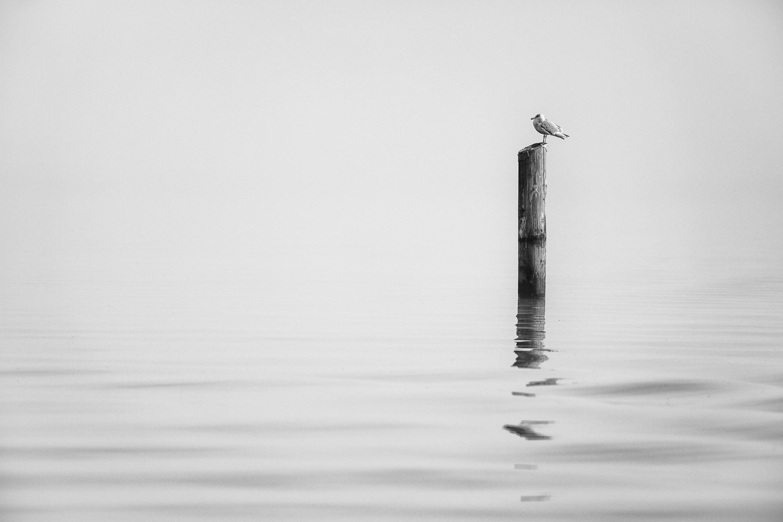 Fog and Seagull on Lake Washington