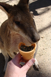 This is exactly what it would look like if you were handfeeding a kangaroo!