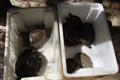 Australia turtles in their natural habitat