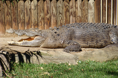 Massive crocodile Also deadly Also wants to kill you