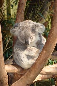 Buddha Koala!