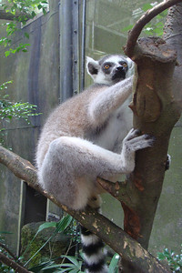 Lemurs are cool Next time I go to the zoo I'm going to steal one