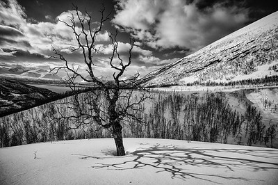 Weathered birch