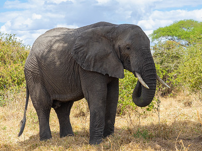Bull elephant in Tarangiri