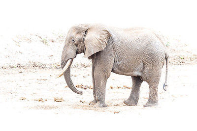 High Key Bull Elephant in Tarangire