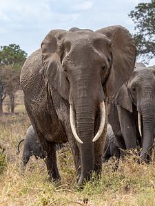 Elephants in Tanrangire