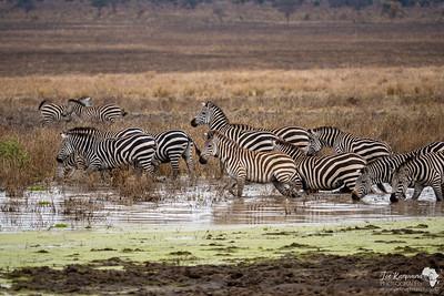 A dazzle of zebra crossing the swamp in Tarangire