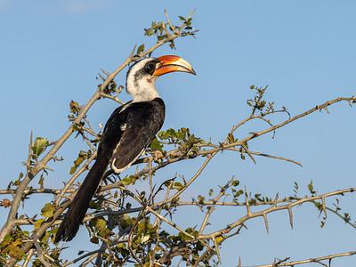 Von Der Decken's Hornbill in Tarangire