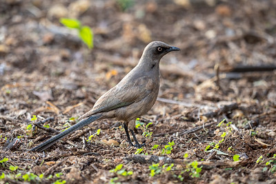 An Ashy Starling