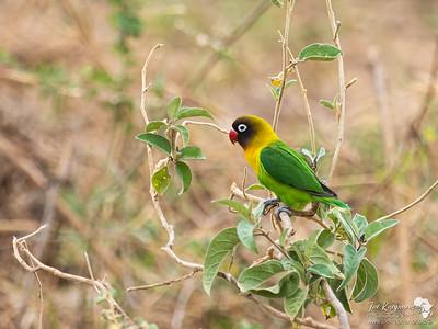 The Yellow-Collared Lovebird