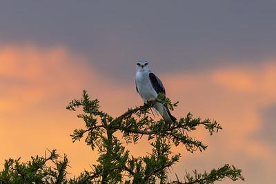 Black-winged Kite in the Serengeti