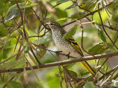 Black Cuckoo Shrike (female)