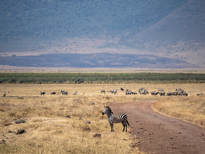 Attempted Zebra crossing!