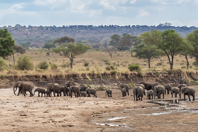 A herd of elephants visiting the river