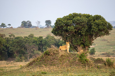 Northern Serengeti with a lioness on lookout