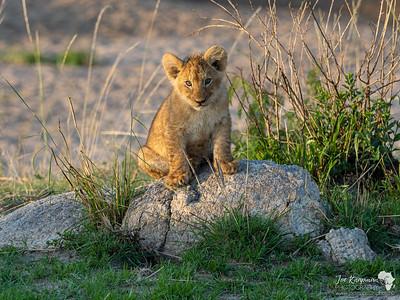 Curious lion cub