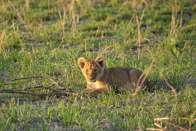 young lion cub - about 8-10 weeks old