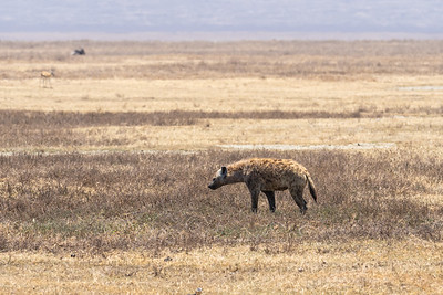 Spotted Hyena going about his day