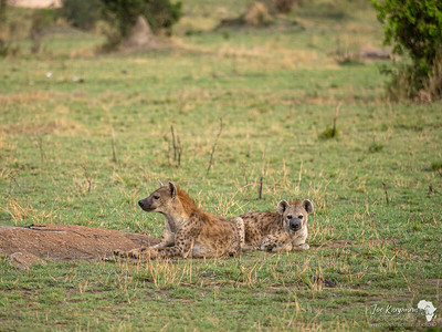 Spotted Hyena in the Northern Serengeti