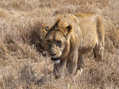 A sub adult male in the Ngorongoro Crater