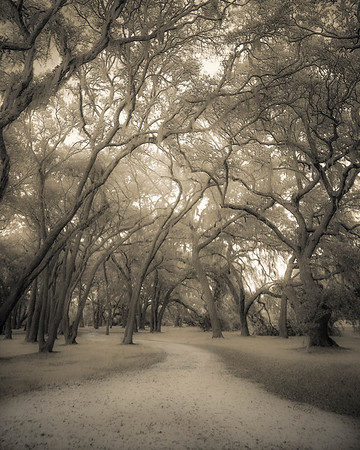 Dirt Road Through the Oak Grove, Sepia