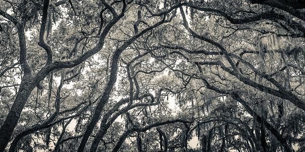 Oak Grove Canopy #1, Greytone