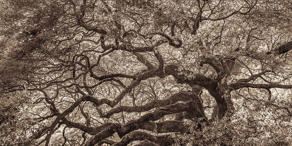Angel Oak #2, Sepia
