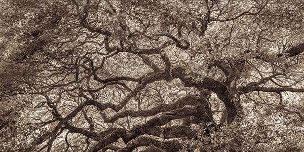 Angel Oak #2, Sepia